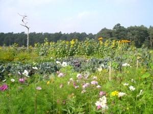 Blumen-Acker3.jpg